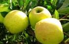 Как правильно снимать плоды с дерева?