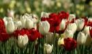 Как правильно выращивать тюльпаны?