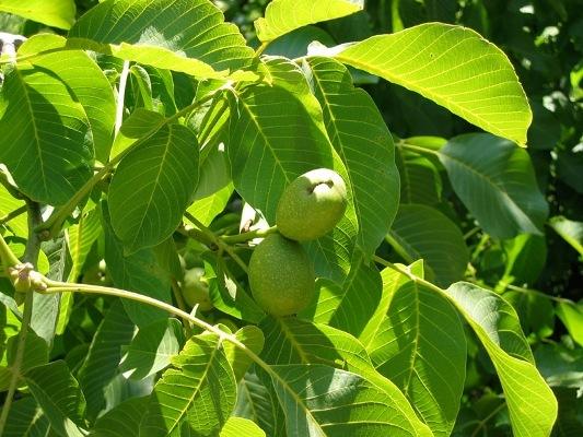 Как растет грецкий орех?