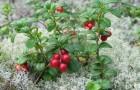 Как сажать дикорастущие ягодники?
