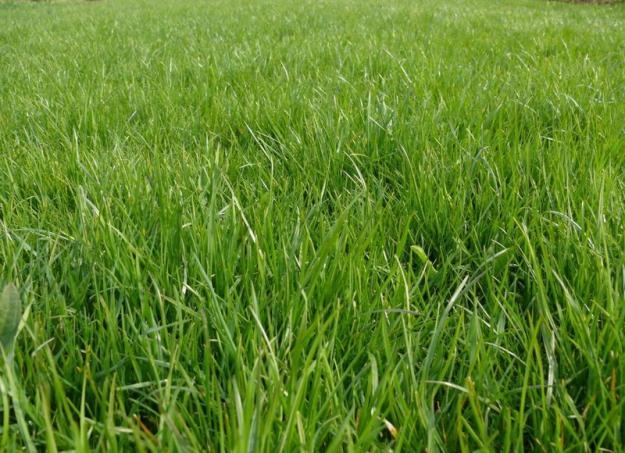 Как сажать газон?