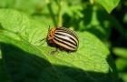 Как справиться с колорадским жуком?