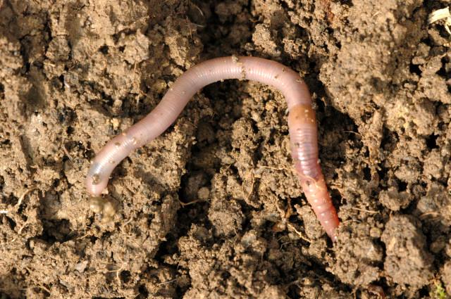 Как уберечь урожай от червей?