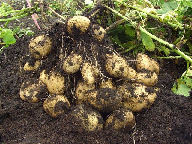 Как выращивать картофель из глазков?