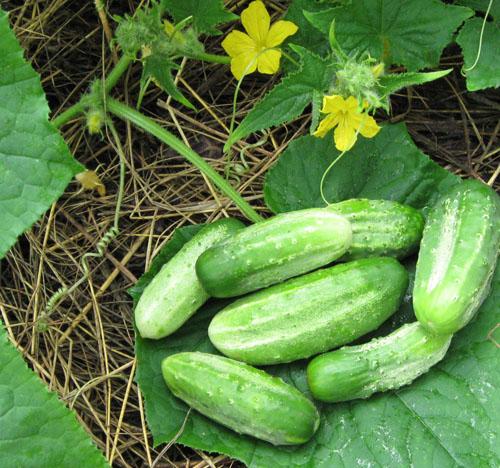 Как выращивать огурцы, чтобы урожай получился солидным?
