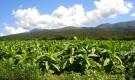 Как выращивать табак?