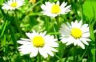 Как заготавливать лекарственные травы?
