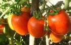Какие сорта помидоров лучше?