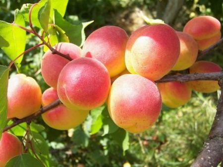 Какие условия нужны абрикосу?