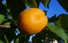 Каков результат выращивания абрикоса из косточек?