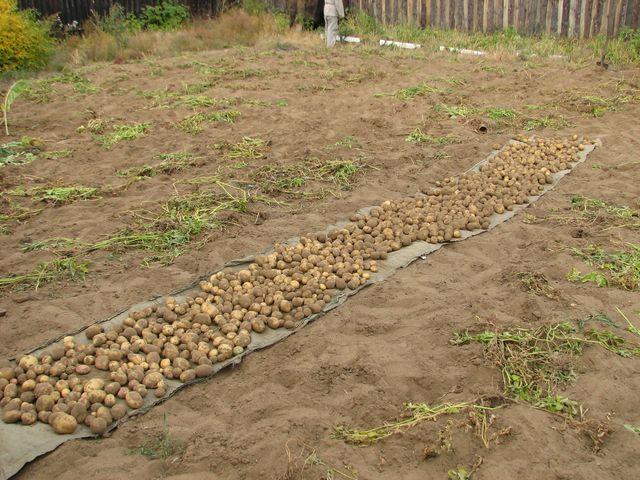 Когда выкапывать картофель?