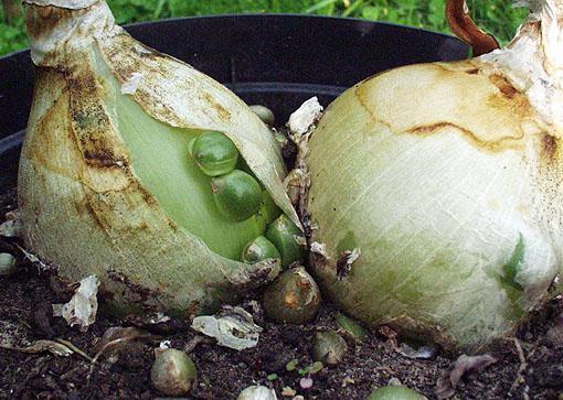 Лечебные свойства индийского лука