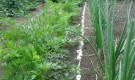 Мостовой способ выращивания лука