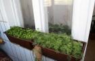Можно ли выращивать на подоконнике укроп?