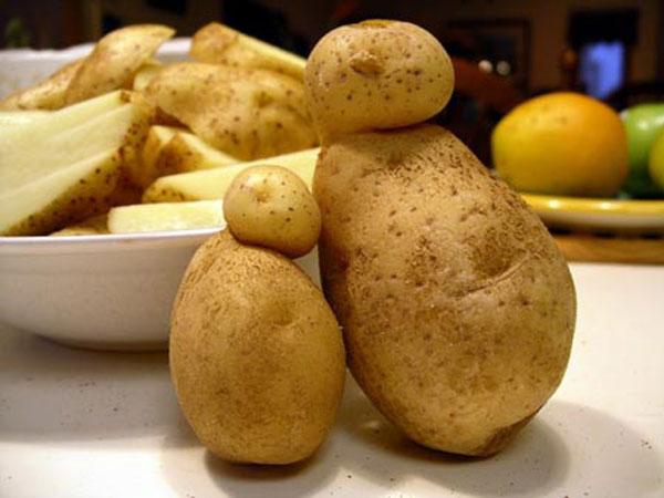 Можно ли высаживать изгрызанный мышами картофель?