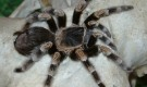 На сколько опасны тарантулы?