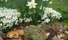 Нарцисс на альпийской горке