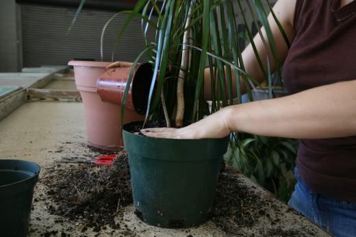 Нужно ли делать перевалку комнатных растений?