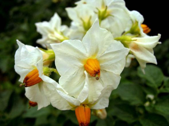 Нужно ли обрывать цветки картофеля?