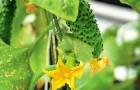 Нужно ли обрывать цветки у огурцов?