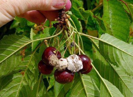 Нужно ли снимать с вишен мумифицированные плоды?