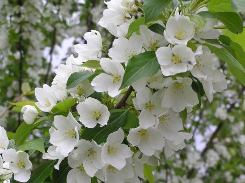 Обрывка цветков пинцетом с плодовых деревьев
