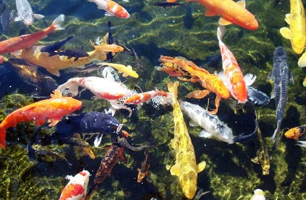 Организация кормления рыбы в садовом пруду
