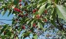 Отчего с вишни опадают плоды?