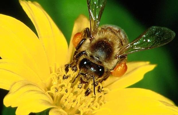 Пчёлы не любят полосатые и красные цветы