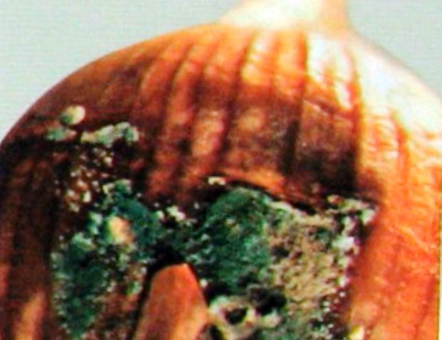 Пенициллёз или сине-зеленая плесень лука