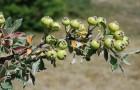 Почему деревья не плодоносят?