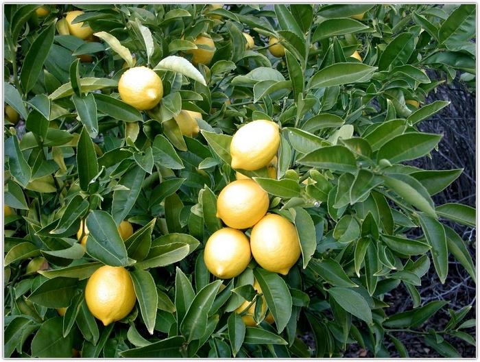 Почему лимон сохнет?