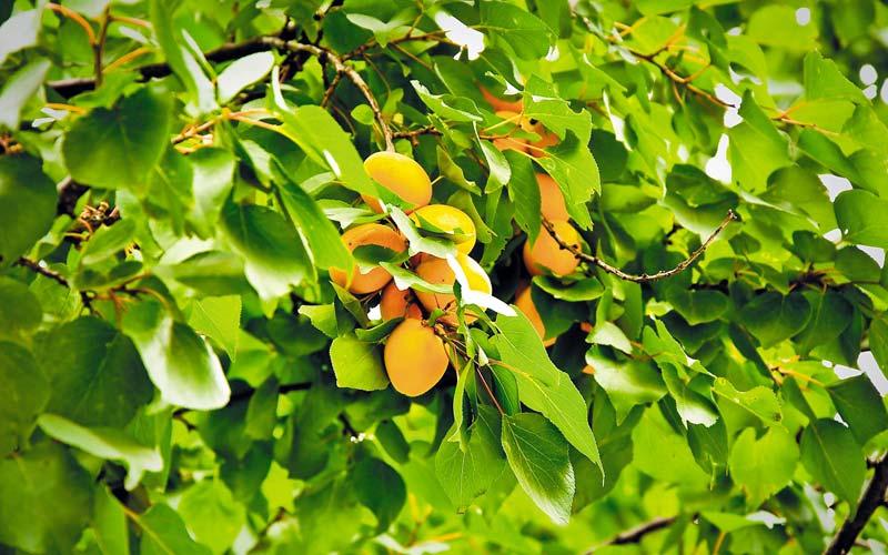 Почему на абрикосе опали все листья?