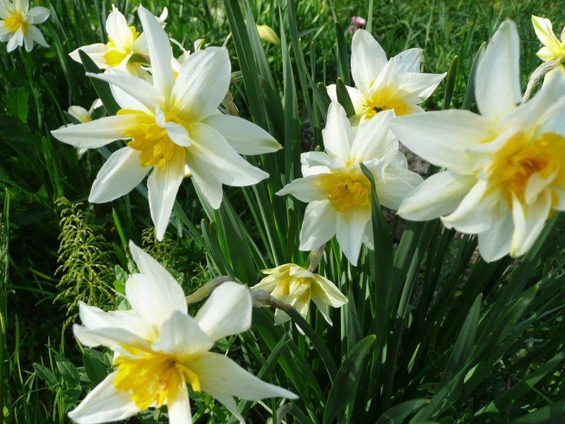 Почему не цветут нарциссы?