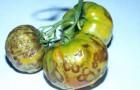 Почему помидоры гниют?