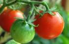 Почему сентябрьские помидоры кажутся невкусными?