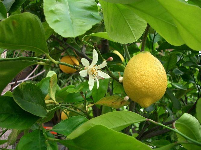 Почему у лимона бледно-зеленые листья?