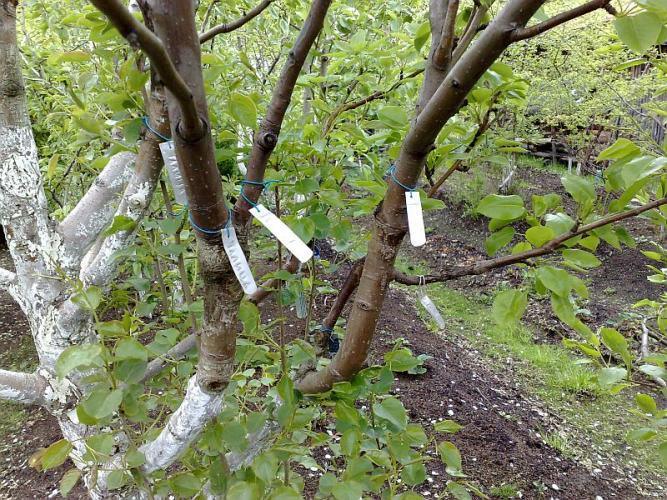 Почему в питомниках не прививают грушу на рябину?