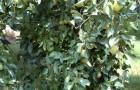 Почему ветки груши задираются кверху?