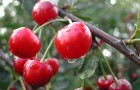 Почему вишня отцвела, завязались плодики и сразу же начали краснеть?
