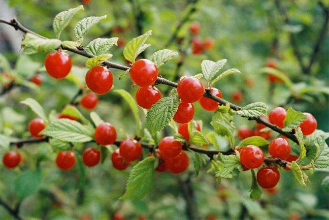 Почему войлочная вишня не дает плодов?