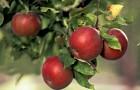 Почему яблоня дает мало плодов?