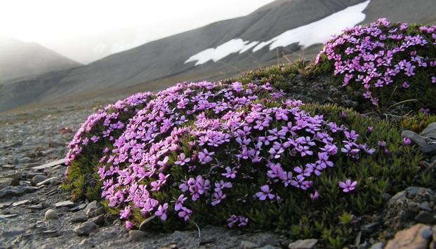 Подушкообразные растения