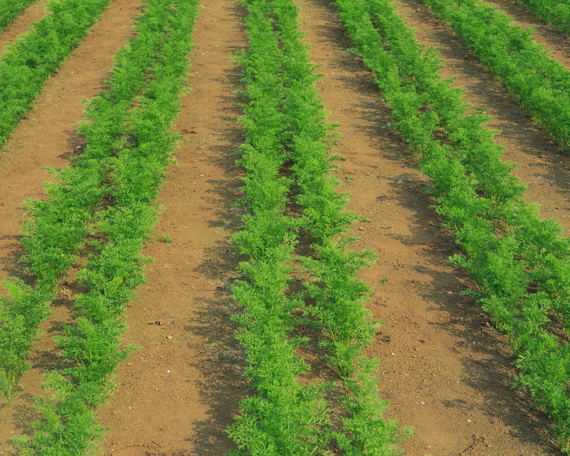 Получение своих семян моркови и свеклы