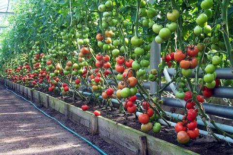 Помидоры - прямое выращивание семян