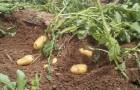 Правильно ли сажать картошку по несколько штук в одну лунку?