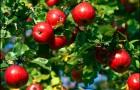 Правильное выращивание яблонь