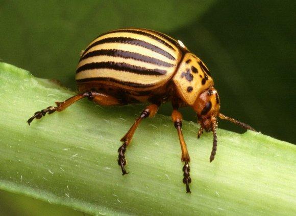 Препараты против колорадских жуков