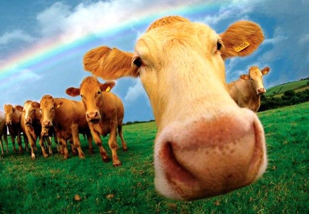 Профилактика, лечение заболеваний коров