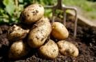 Рогатый картофель